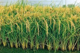 El método SRI triplica las cosechas de arroz sin empleo de agroquímicos